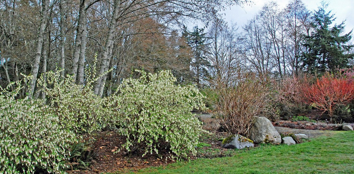 Buck lake native plant garden ribes sanguineum white icicle flowering currant mightylinksfo