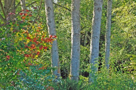 Vine maple fall color