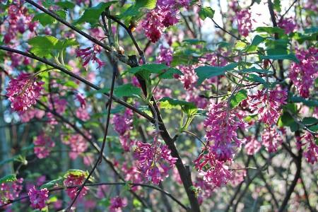 The spring blooms of Ribes sanguinium