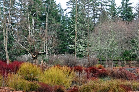 The colorful stems of dogwood in the winter