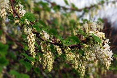 Ribes sanguinium 'White Icicle' (flowering currant)