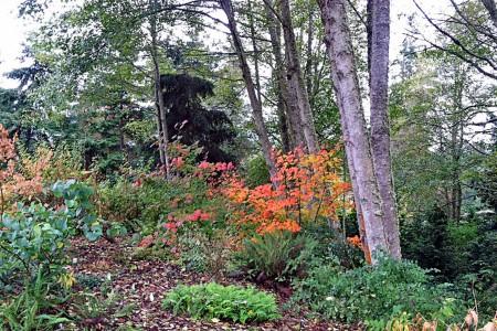 Vine maple fall foliage