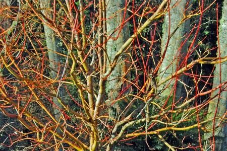 Vine maple in winter