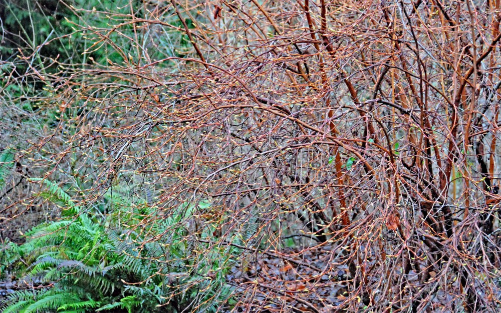 Indian plum is the first plant in the garden to bud out