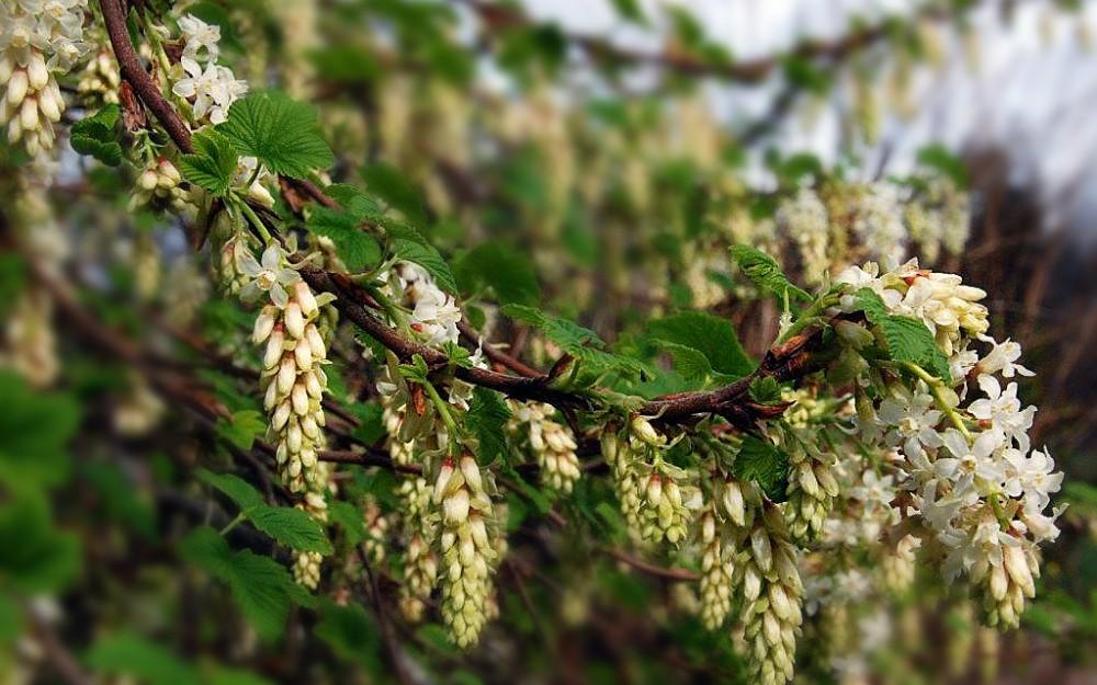 Ribes sanguinium 'White Icicle'