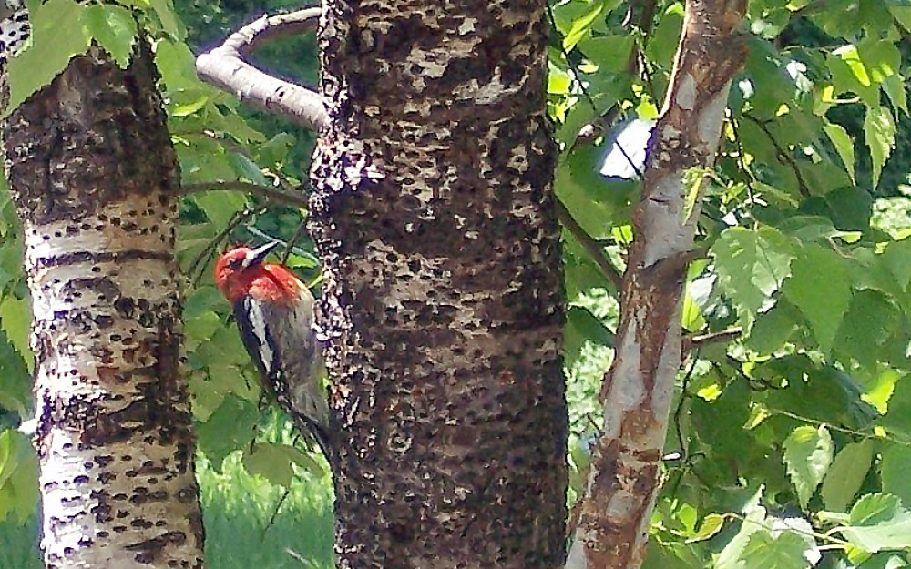 A Red-Breasted Sapsucker visits the birch grove