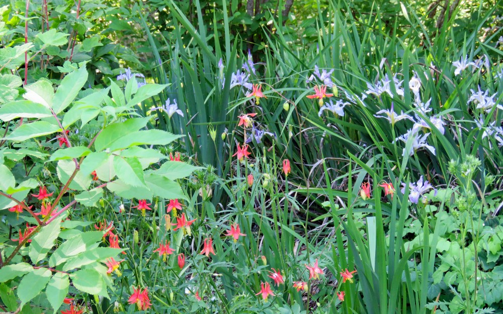 Summer blooms of columbine mingle with Douglas iris