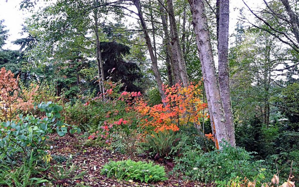 Vine maple fall foliage lights up the garden.