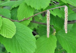 Corylus cornuta   Hazelnut