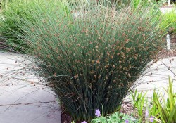 Juncus patens   (California gray rush)