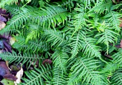 Polypodium glycyrrhiza  (licorice fern)