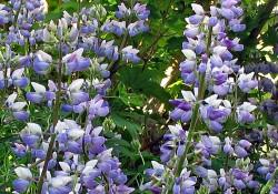 Lupinus rivularis  (riverside lupine)