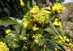 Mahonia nervosa   (Cascade Oregon grape)