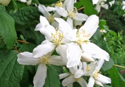 Philadelphus lewisii  (mock orange)