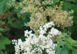 Holodiscus discolor (oceanspray)