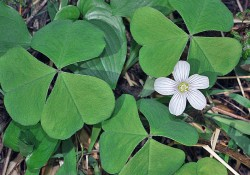Oxalis oregana (redwood sorrel)