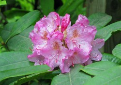 Rhododendron macrophyllum   (Pacific rhododendron)
