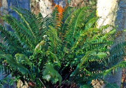 Polystichum munitum  (western sword fern)