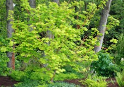 Acer circinatum 'Pacific Fire'    (vine maple)