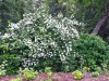 Hedgerow with mock orange in Buck Lake Native Plant Garden